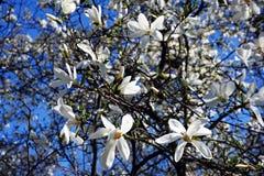 Белый magnolia Стоковое Изображение