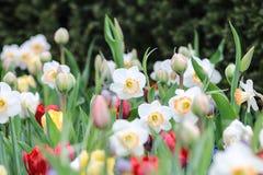 Белый narcissus в поле с тюльпанами стоковое фото