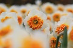Белый narcissus с желтым сердцем стоковые фото