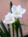 Белый narcissus Стоковая Фотография