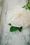 Белый peony Стоковые Фото