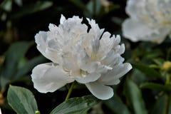 Белый peony Стоковая Фотография
