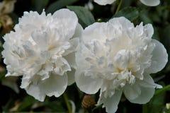 Белый peony Стоковые Фотографии RF