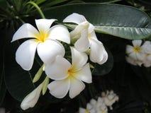 Белый plumeria Стоковые Изображения RF