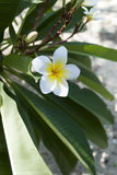 Белый plumeria Стоковые Фото