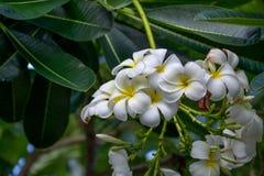 Белый plumeria Стоковые Изображения