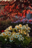Белый primula в саде Стоковые Фото
