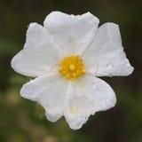 Белый rockrose стоковая фотография