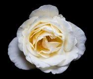 Белый Rose на черной предпосылке Стоковые Фото