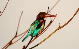 Белый Throated садить на насест Kingfisher Стоковое Фото