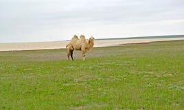 Белый two-humped верблюд стоит на банке озера Manych- Gudilo Калмыкия Стоковое Фото