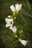 Белый Wildflower Стоковые Изображения RF