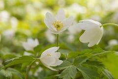 Белый windflower Стоковое Изображение