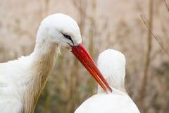 2 белых аиста в влюбленности Стоковая Фотография RF