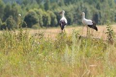 2 белых аиста на поле и предпосылке леса Стоковое Фото