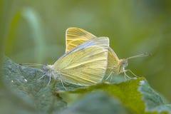 2 белых бабочки делая влюбленность Стоковые Изображения