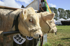 2 белых быка в ручке Стоковые Фото