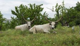 2 белых вола с длинными рожками лежат на луге под деревьями Стоковые Изображения
