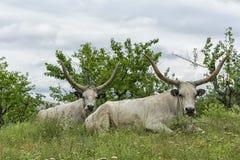 2 белых вола с длинными рожками лежат на луге под деревьями Стоковые Изображения RF