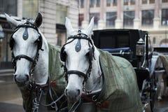 2 белых вытягиванной лошади Стоковая Фотография