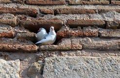 2 белых голубя в шлице кирпичной стены Стоковое Изображение RF