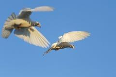 2 белых голубя на голубом небе Стоковое Фото