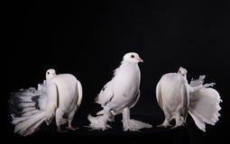 3 белых голубя Стоковые Изображения RF