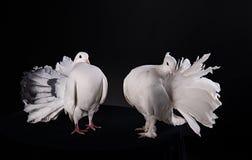 2 белых голубя Стоковое фото RF