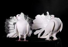 2 белых голубя Стоковые Фото