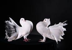 2 белых голубя Стоковое Фото