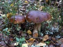 2 белых гриба растут на мхе Стоковое Фото