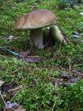 2 белых гриба растут на мхе Стоковые Изображения