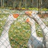3 белых гусыни за загородкой металла Стоковая Фотография