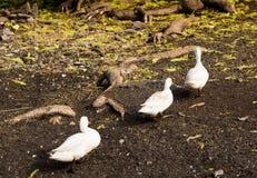 3 белых гусыни идя рядом с корнями большого дерева в ферме yar Стоковые Изображения