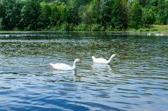 2 белых гусыни плавая на воде Стоковое фото RF