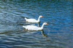 2 белых гусыни плавая на воде Стоковое Фото