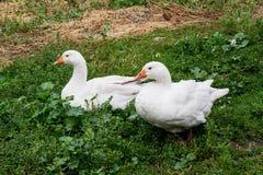 2 белых гусыни сидя на траве в дворе Стоковые Изображения
