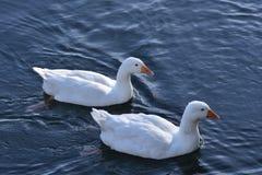 2 белых гусыни Стоковая Фотография