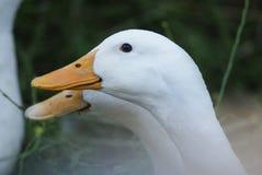 2 белых гусыни Embden в профиле Стоковая Фотография RF