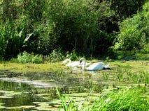 2 белых лебедя в озере, Литве Стоковые Изображения