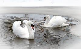 2 белых лебедя на озере в зиме Стоковые Изображения