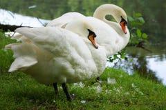 2 белых лебедя на озере Стоковые Изображения