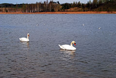 2 белых лебедя на озере Стоковое Изображение