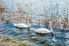 2 белых лебедя на озере Стоковое Изображение RF
