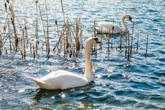 2 белых лебедя на озере Стоковые Фото