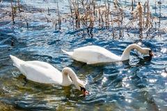2 белых лебедя на озере Стоковое фото RF