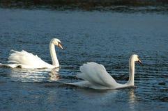 2 белых лебедя на озере Стоковая Фотография RF