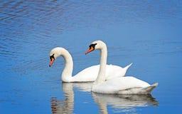 2 белых лебедя на поверхности озера Стоковое Изображение
