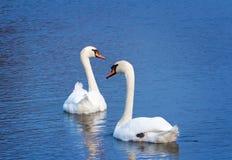 2 белых лебедя на поверхности озера Стоковая Фотография RF