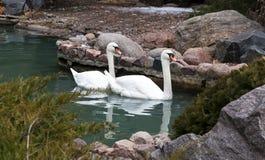 2 белых лебедя на поверхности озера Стоковая Фотография